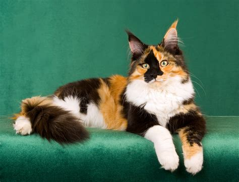 names for calico cats calico cat names purrfect cat names