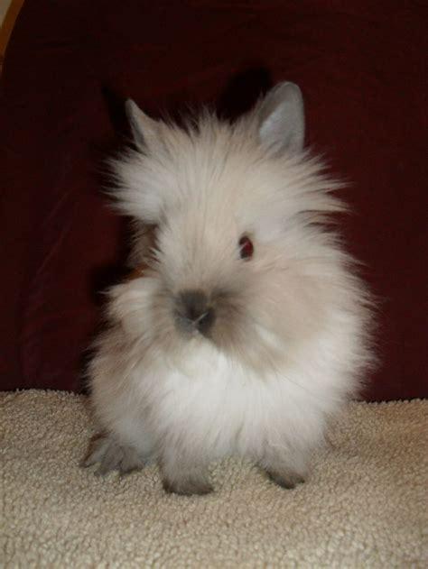 lionhead rabbit colors color chart pets rabbits rabbit raising
