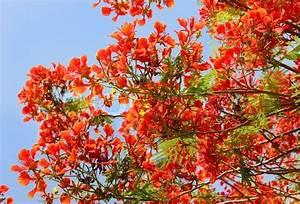 Rote Blätter Baum : baum rote akazie stockfoto colourbox ~ Michelbontemps.com Haus und Dekorationen