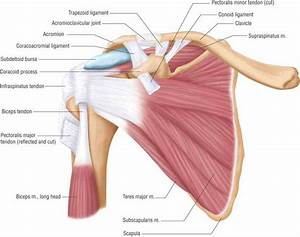 Anatomy Of Human Shoulder | MedicineBTG.com