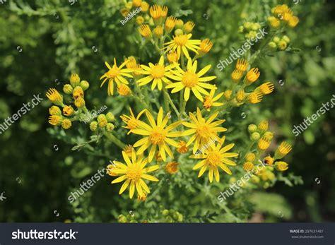 Yellow Ragwort Flowers Or Tansy Ragwort Stock Photo