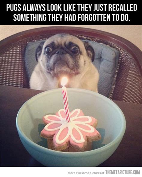 Birthday Pug Meme - the pug look the meta picture