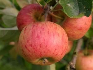 Apfelbaum Hochstamm Kaufen : winterapfel 39 topaz 39 malus 39 topaz 39 baumschule horstmann ~ Orissabook.com Haus und Dekorationen