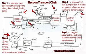 The Electron Transport Chain Is One Complicated Beast