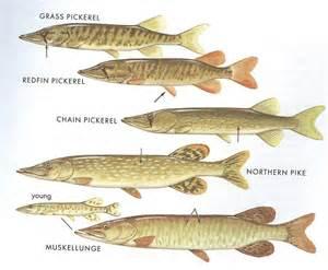 Northern Pike vs Pickerel
