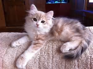 Golden Tabby Siberian Cat