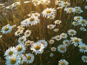 daisies gif | Tumblr
