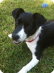 Magpie -PENDING ADOPTION   Adopted Dog   Tracy, CA ...