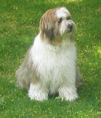 tibetan terriers do they shed 17 best images about tibetan terrier on about