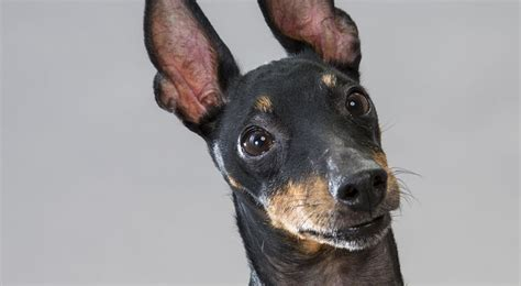 Manchester Terrier Dog Breed Information American Kennel