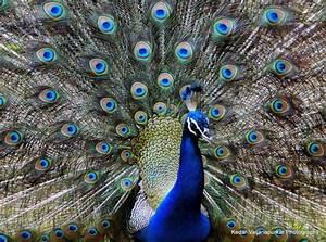 Indian National Bird, Peacock. | Sony DSC HX1 Photography