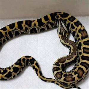 57 best images about Ball pythons on Pinterest | Glow ...