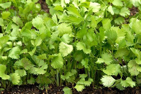 anis vert planter et cultiver ooreka