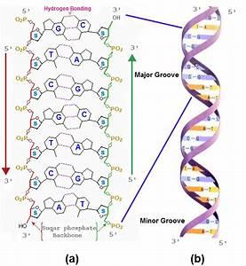 Nucleic Acids | Chemistry@TutorVista.com