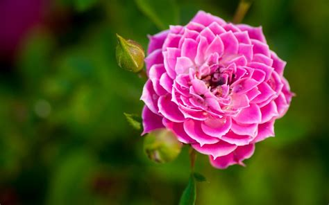 nature flower garden rose pink hd wallpaper wallpaper   wallpaperup