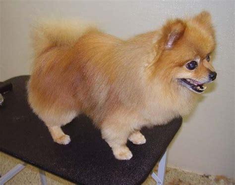 The 25+ Best Pomeranian Haircut Ideas On Pinterest