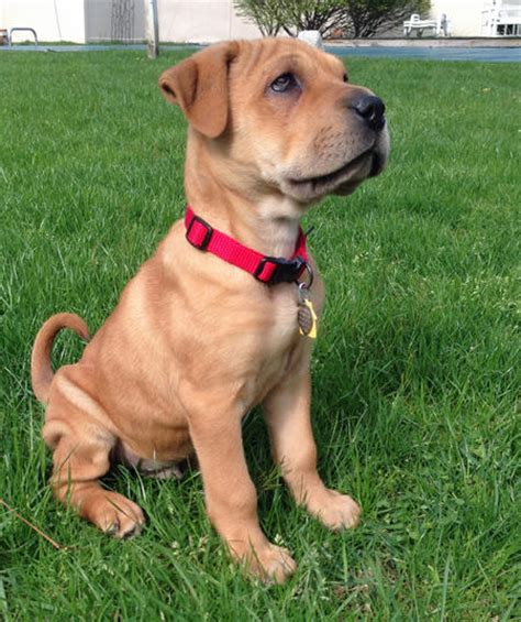 Do Shar Pei Lab Mix Shed by Best 25 Shar Pei Mix Ideas On Bull Baby