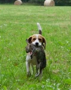 Pocket Beagle Full Size | www.pixshark.com - Images ...