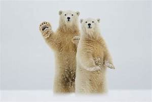 How Tall is a Polar Bear Standing Up? • PolarBearFacts.net
