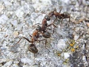 Ameisen Im Garten : ameisen im haus und garten nat rlich mit hausmitteln bek mpfen plantura ~ Frokenaadalensverden.com Haus und Dekorationen
