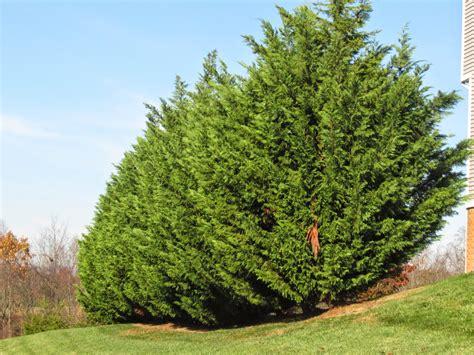 leyland cypress groshs lawn service leyland cypress hagerstown md washington county md with grosh s lawn service