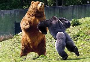 Silverback Gorilla vs Grizzly Bear | Page 2 | Spacebattles ...