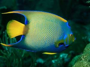 Screen Themes - Coral Reef Fish - Queen Angelfish 2 ...