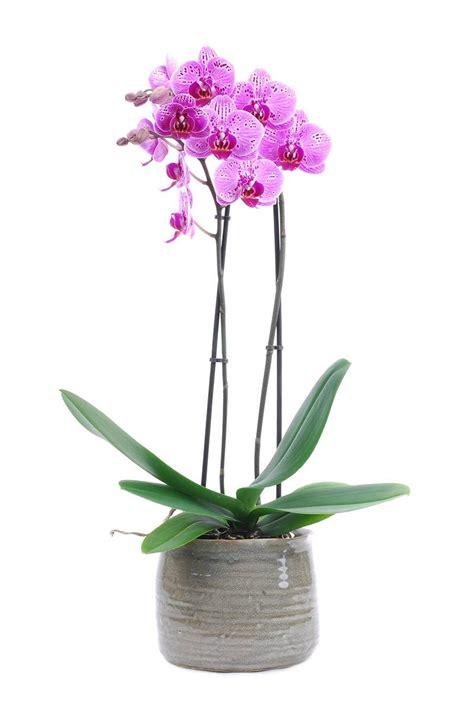 roze phalaenopsis orchidee in pot bestellen 187 bloemen francois gurp