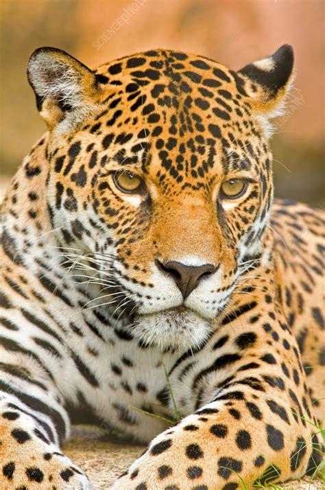 Jaguar - Stock Image - C009/2670 - Science Photo Library