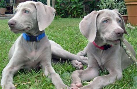 25 best ideas about blue weimaraner puppy on pinterest