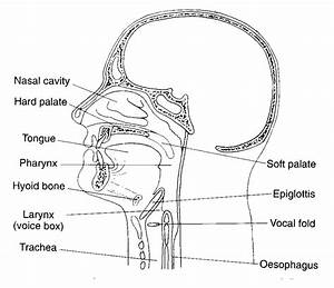 What Is The Difference Between Pharynx And Larynx Science