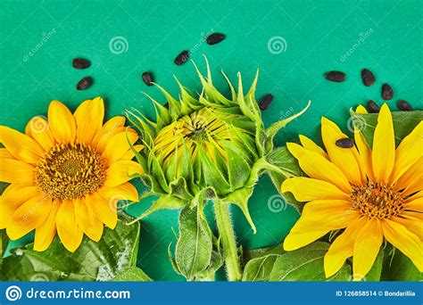 autumn sunflower flowers leaves seed concept mature