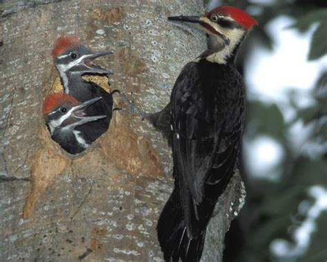 pileated woodpecker audubon guide to north american birds