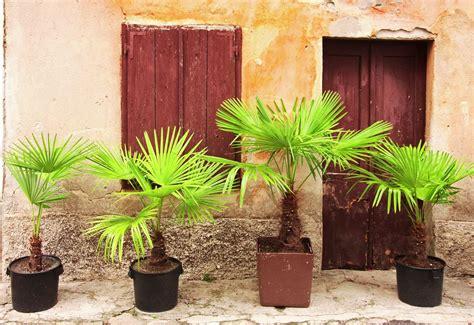 palmier en pot ext 233 rieur ou int 233 rieur ooreka