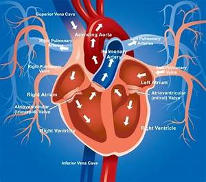 How Blood Flow Through The Heart