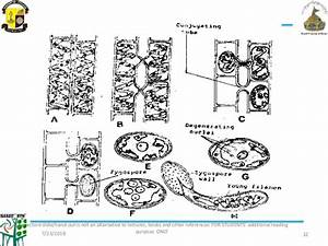 34 Diagram Of Spirogyra With Label