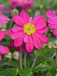 Anemone Plant Wwwpixsharkcom Images Galleries With A