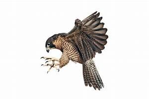 A Falcon in the City - The New York Times  Falcon