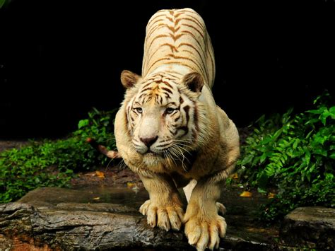 tiger hd wallpapers hd wallpaper