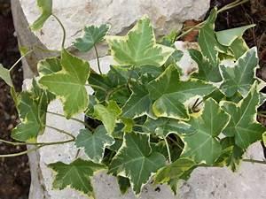 Kübelpflanzen Winterhart Schattig : hedera helix 39 gold child 39 39 efeu pflanzen versand f r ~ Michelbontemps.com Haus und Dekorationen