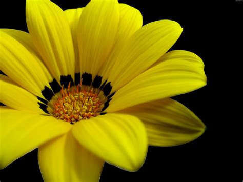 great yellow flower wallpapers hd wallpapers id