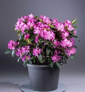 Kleinwüchsige Immergrüne Hecke : rhododendron blurettia rhododendron yakushimanum ~ Lizthompson.info Haus und Dekorationen