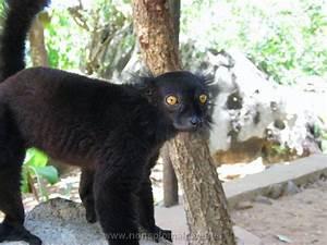 Fauna Madagascar Lemure Pictures