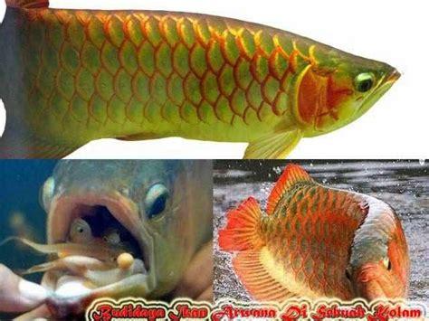 gambar tahukah bagaimana budidaya ikan arwana sebuah kolam