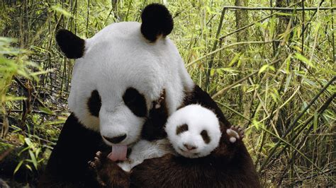 Panda Bear Backgrounds