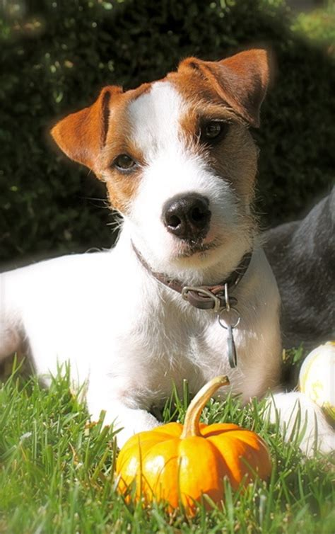 images  love jack russell terriers