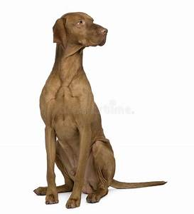 vizla dog sitting and looking away stock image image of With looking for dog sitter