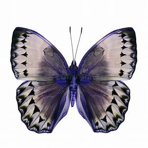 Beautiful Blue And Grey Butterfly (Cambodia Junglequeen In ...