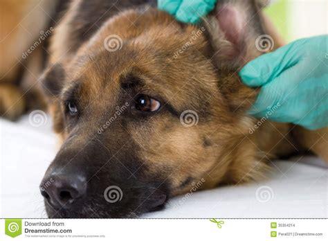 veterinarian  ear   german shepherd dogclose