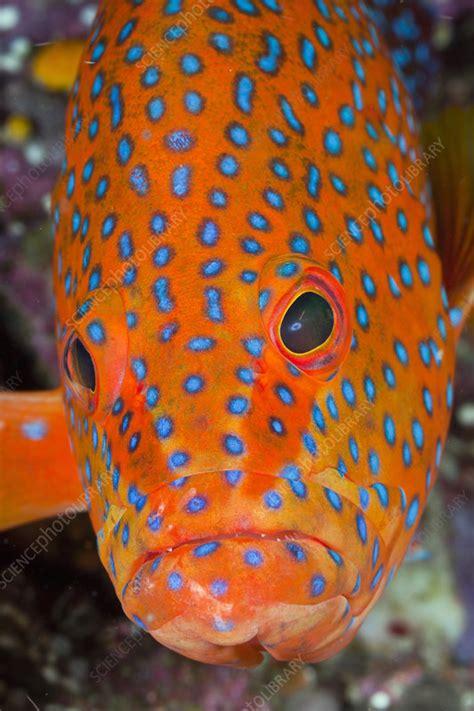 grouper head coral